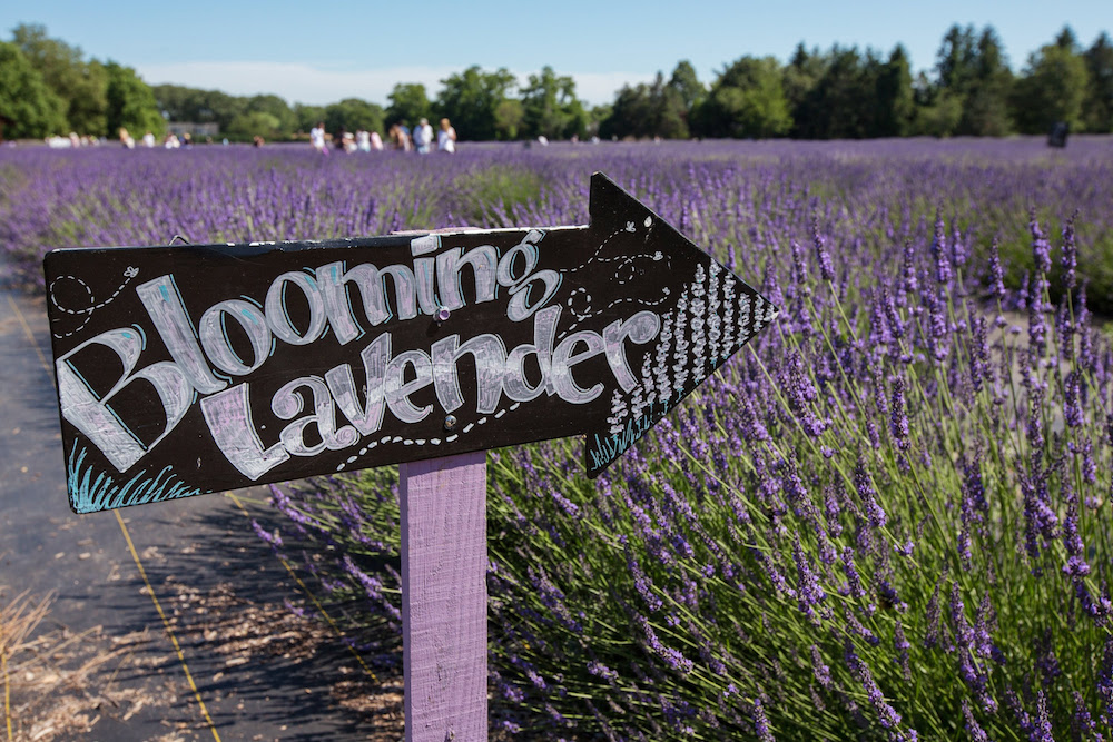 lavender by the bay blooming lavender sign
